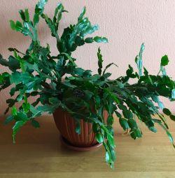 кактус Декабріст🌺