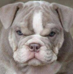 Bulldog puppy female