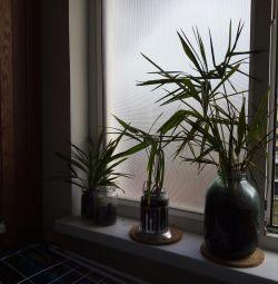 Palmă de palmier