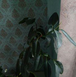 Ficus la prețul ghivecelor