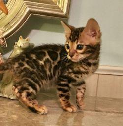 Bengal γατάκι για το σπίτι