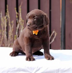 Labrador. Puppies of all colors. RKF.