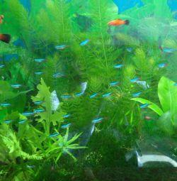Рыбки аквариумные.Неон. распродажа