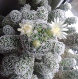 Çiçek açan kaktüs