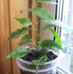 Ficus Anastasia - Babe