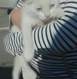 Turkish Angora, boy, 1.5 months.