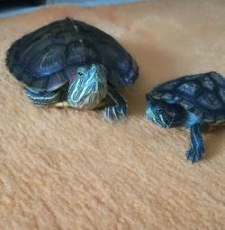 Broaștele de țestoasă cu burtă roșie