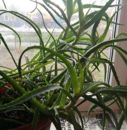 Şifa Aloe 4 Yaz
