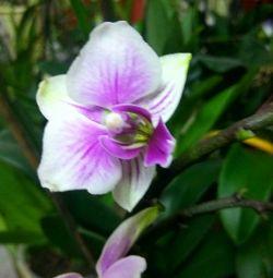 Orchid Phalaenopsis.