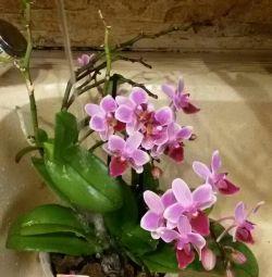 Phalaenopsis flowers babes