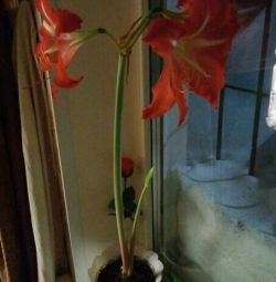 HYPPEASTRUM? SEE ALREADY