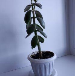 Денежное дерево / толстянка