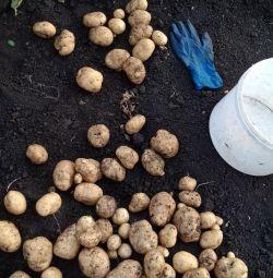 Potatoes are fresh, rustic