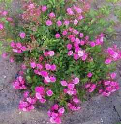 Stokta çiçek açan güller