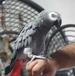 Beautiful Africa grey parrot