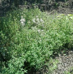 Thyme and creeping thyme, anise lofant.