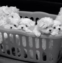 Outstanding  Maltese Puppies