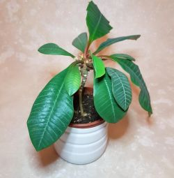 Euphorbia room