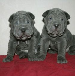 Elite shar pei puppies.