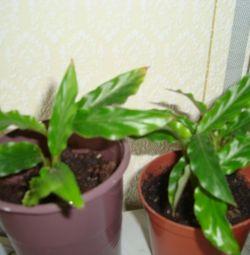 Shefflera cu frunze înguste