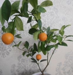 Ornamental Citrus Plant