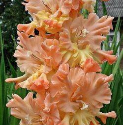 Bahçe ve bahçe için gladioli soğanları