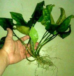 Анубиас. Растение в аквариум
