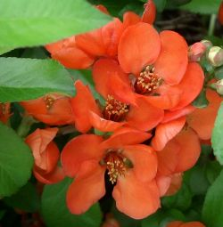 Japanese quince (seedlings)