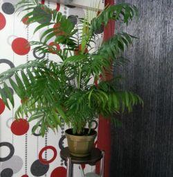 Hamedora (φυτό εσωτερικού χώρου)