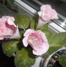 Gloxinia Roz, Kaleria, Violete terry.