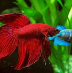 рибки Петушки