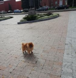 Pomeranian Spitz Örme