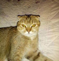 Ψάχνουμε για μια γάτα για ζευγάρωμα