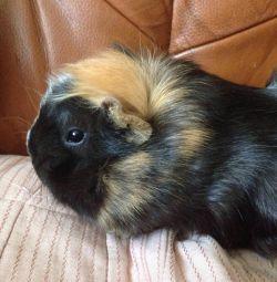 Guinea pig, girl.
