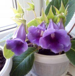 Tidei Flowers