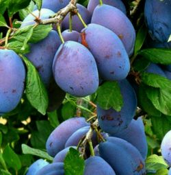 Răsaduri de prune
