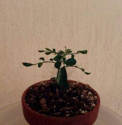 Murrayya Paniculata este deja înflorită