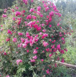 Роза плетистая Екзальса