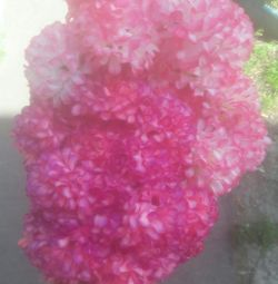 Garoafa roz