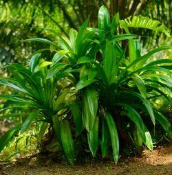 Νότια ομορφιά Palm Tree Pandaus Veitch