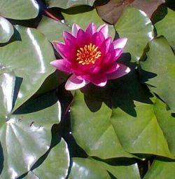 Nymphea de flori (crin de apă)
