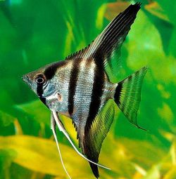 Aquarium fish angelfish