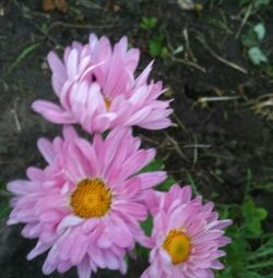 Chrysanthemums for planting 3 pcs per 100