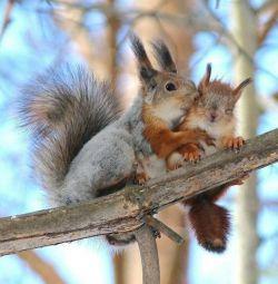 Squirrel Teleutka