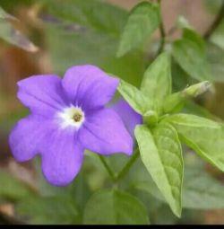 Indoor flower. Brazilia