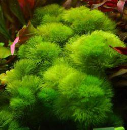 Аквариумное растение Кабомба Акватика