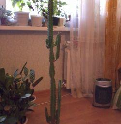 молочай, взрослое растение, в кашпо