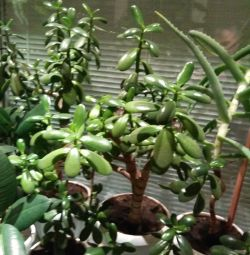 Jade (money tree).