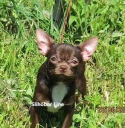 Шоколадные Чихуахуа щенки