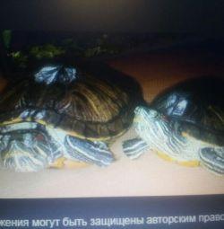 Snowy turtles
